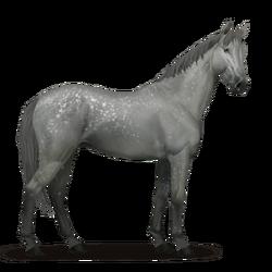 Selle Français Pferd Apfelschimmel