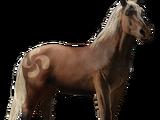 Pottok-Pony (Wildpferd)