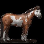 Paint Horse Brauner mit Overo-Scheckung