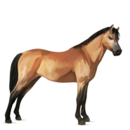 Welsh Cob Falbe Altes Design