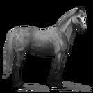 Quarter Horse.Apfelschimmel.Alt