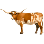 Longhorn Kuh