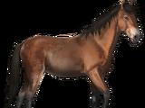 Cumberland-Pferd