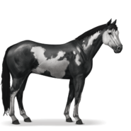 Paint Horse Rappe mit Overo-Scheckung
