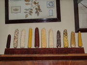 Maize diversity in Vavilov's office