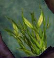 SoD Seaweed