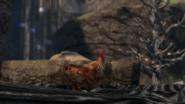 Living on the Edge - Chicken 2