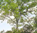 Melojo - Quercus pyrenaica