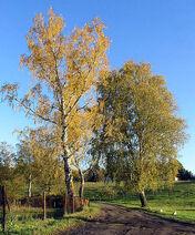 499px-Birken im Herbst
