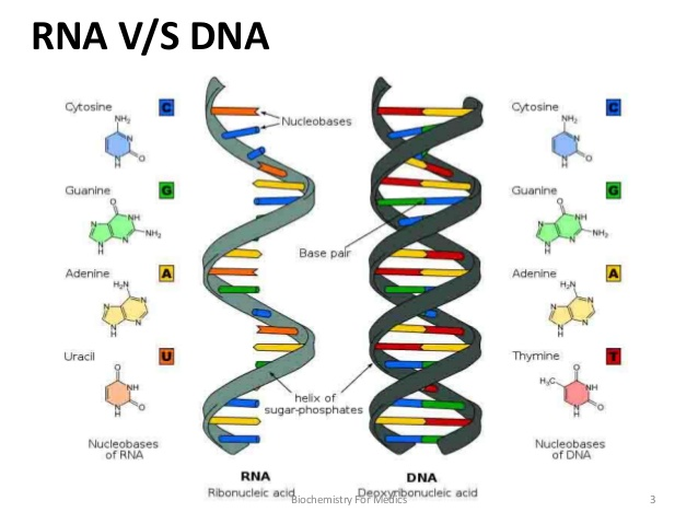 Structure Of Rna And Dna