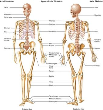 kroppens anatomi latin