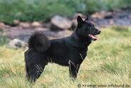 SchwarzerElchhund