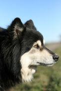 FinnischerLapphundKopf