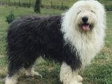 Altenglischer Schäferhund