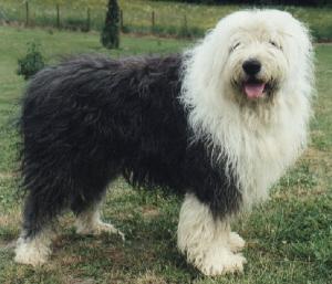 AltenglischerSchäferhund