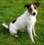 Jack-Russel-Terrier
