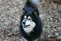 FinnischerLapphund