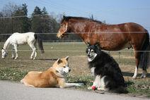Finnischer Lapphund und Akita Inu mit Pferden
