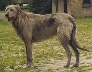 Irish Wolfhund