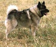 Elchhund