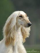 AfghanischerWindhundGesicht