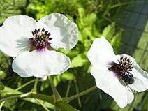 213px-220px-SagittariaSagittifolia-bloem-kl