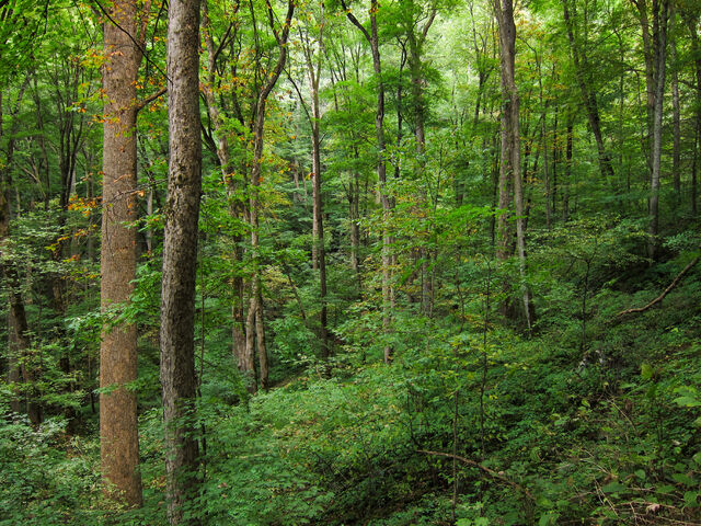 File:Appalachian Cove forest on Baxter Creek Trail in Great Smoky Mountains National Park.jpg