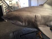 Shark-Close-up-Scars-e1507729320922
