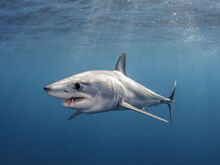 How-mako-sharks-can-swim-as-fast-as-80-miles-per-hour