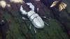 King Great White Beetle
