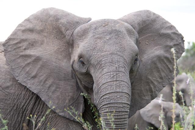 File:Angry elephant ears.jpg
