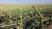 Hail damage corn