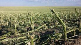 Hail damage corn
