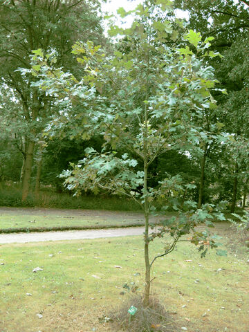 File:Small ginger tree.jpg