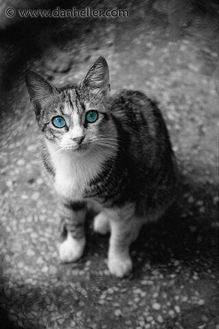 File:Blue-eyed-cat-bwc-big.jpg