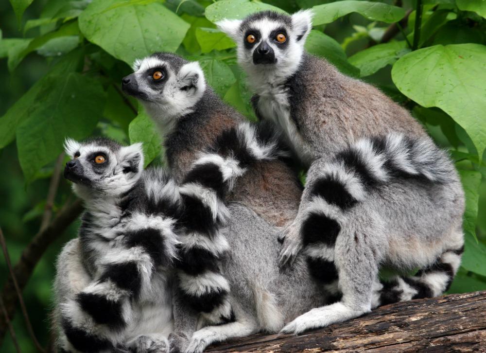 image ring tailed lemur rebirth from ichigo momomiya s evolution