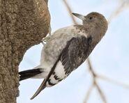 Red-headed Woodpecker b13-39-368 l 1
