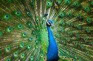 PeacockSymbolism