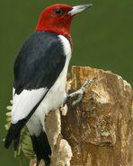 Red-headed Woodpecker s52-11-377 l 1