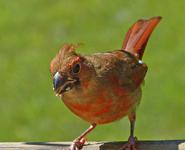 307-immature-Cardinal m-12Aug2015-1024x829
