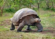 Giant-tortoise-galapagos-001.jpg.662x0 q70 crop-scale