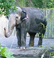 Oregon zoo elephant P1537.jpeg