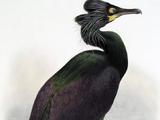Spectacled cormorant (SciiFii)