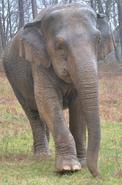 Debbie the Elephant