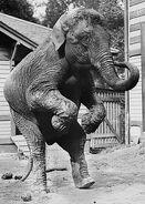 Hattie elephant
