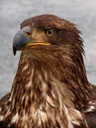 Young-bald-eagle-portrait-gail-bridger