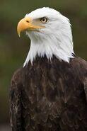 87783268-american-bald-eagle-closeup