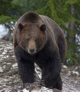 Grizzly (1)