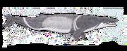 Coronodon (SciiFii)