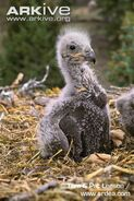 Bald-eagle-chick-in-nest